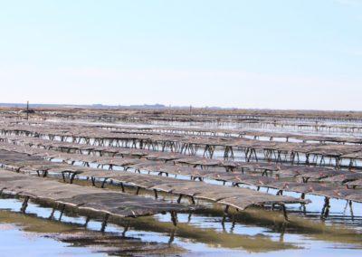 les poches d'huitres à marée basse